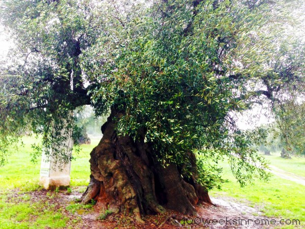 Two thousand plus year old olive tree.