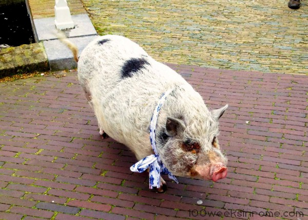 We met Bob the pig, out for his daily walk.