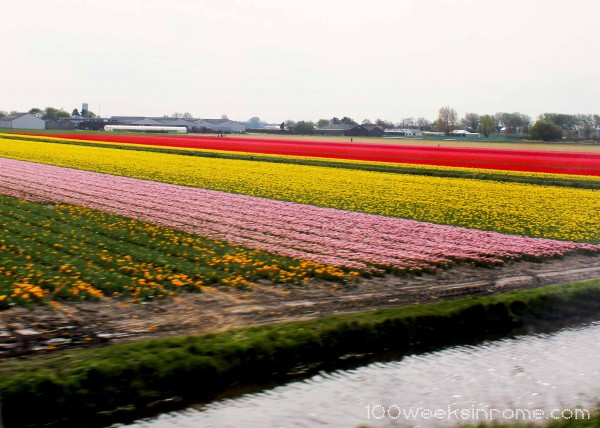 Holland Tulip Field 1