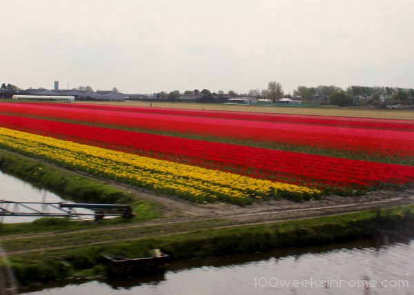 Holland Tulip Field 2