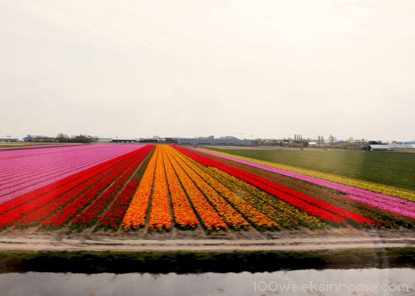 Holland Tulip Field 3