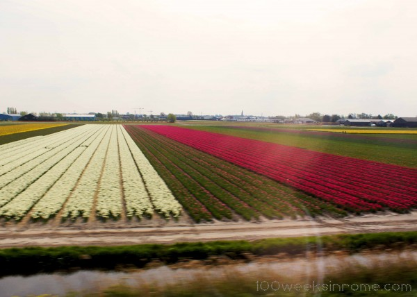 Holland Tulip Field 4