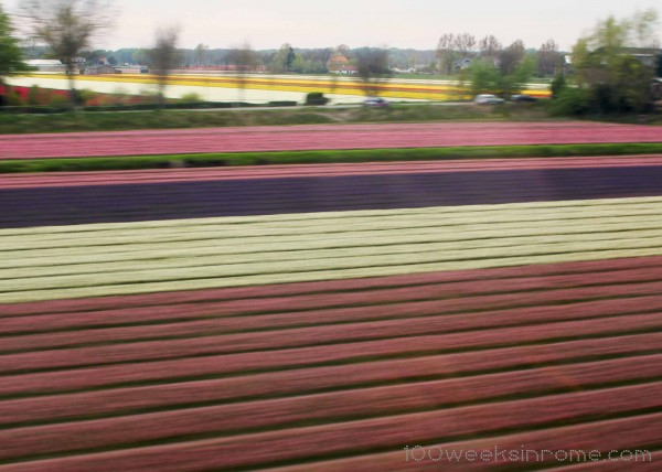 Holland Tulip Field 5