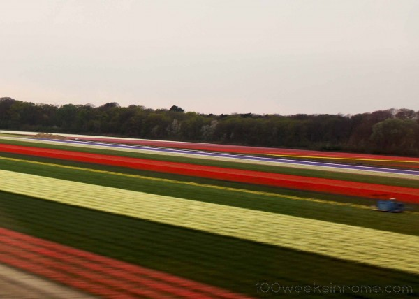 Holland Tulip Field 6
