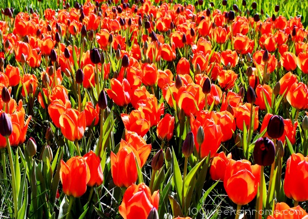 Keukenhof Tulips Purple Orange