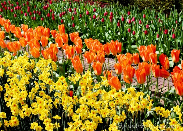 Keukenhof Tulips Yellow Orange Purple